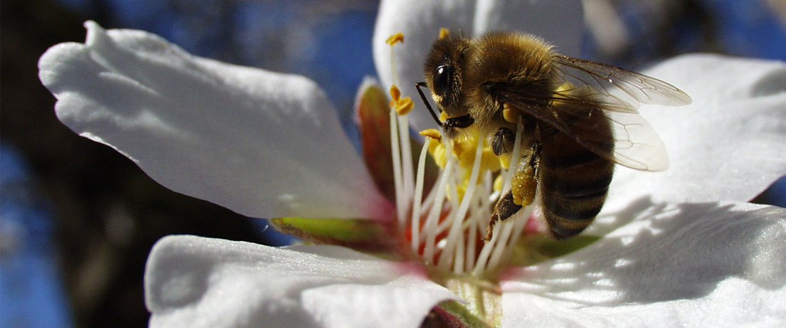 Busy time for bees:<br> <span style='font-weight:200; color:#a1a1a1; font-size:80%;'>Golden State's $5.6 billion almond crop requires world's largest bee mobilization</span>